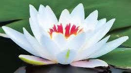 Thumbnail lotus